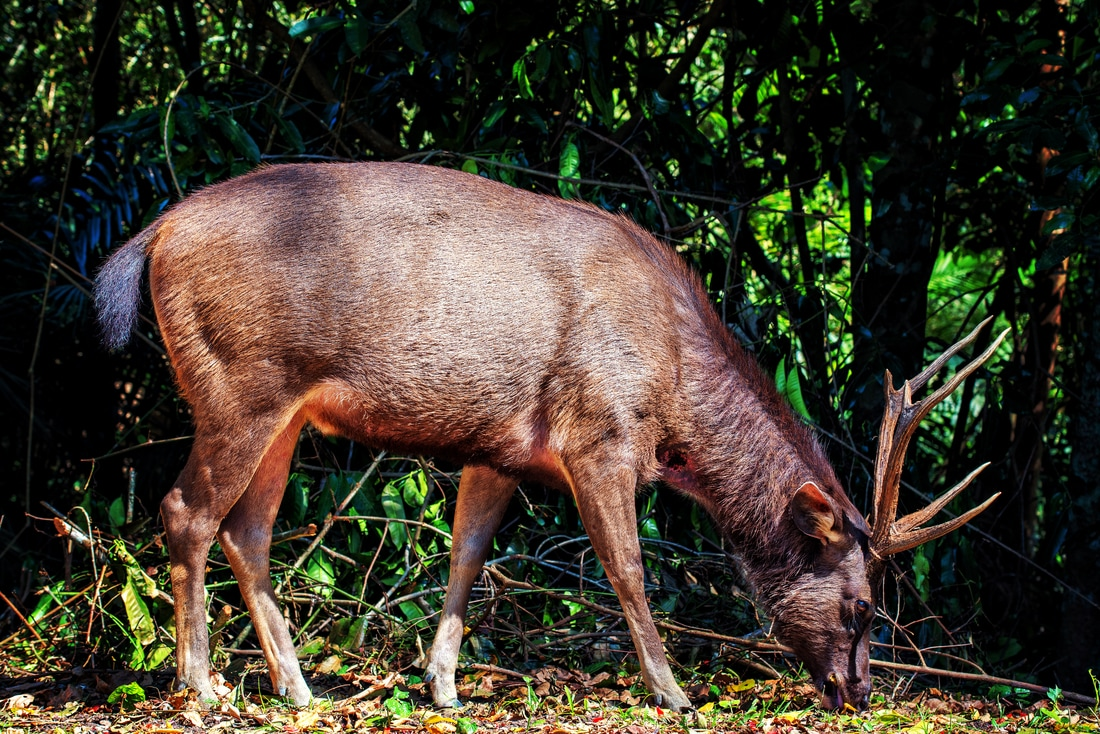 A Samba deer forges for food, Khao Yai National Park, Thailand