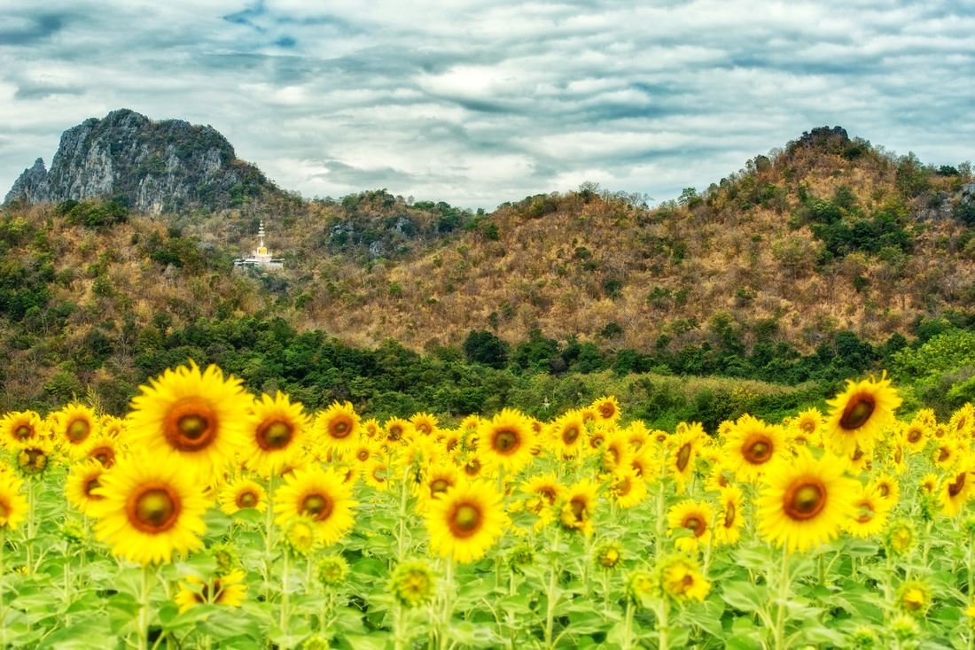 A sunflower field with Khao Jeen Lae in the background, Lopburi, Thailand