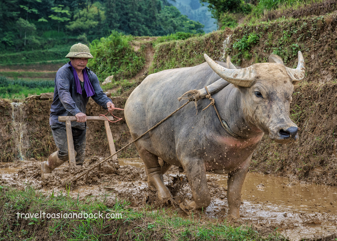 Preparing the rice terraces for planting, Ban Pho Village, Bac Ha, Lao Cai Province, Vietnam