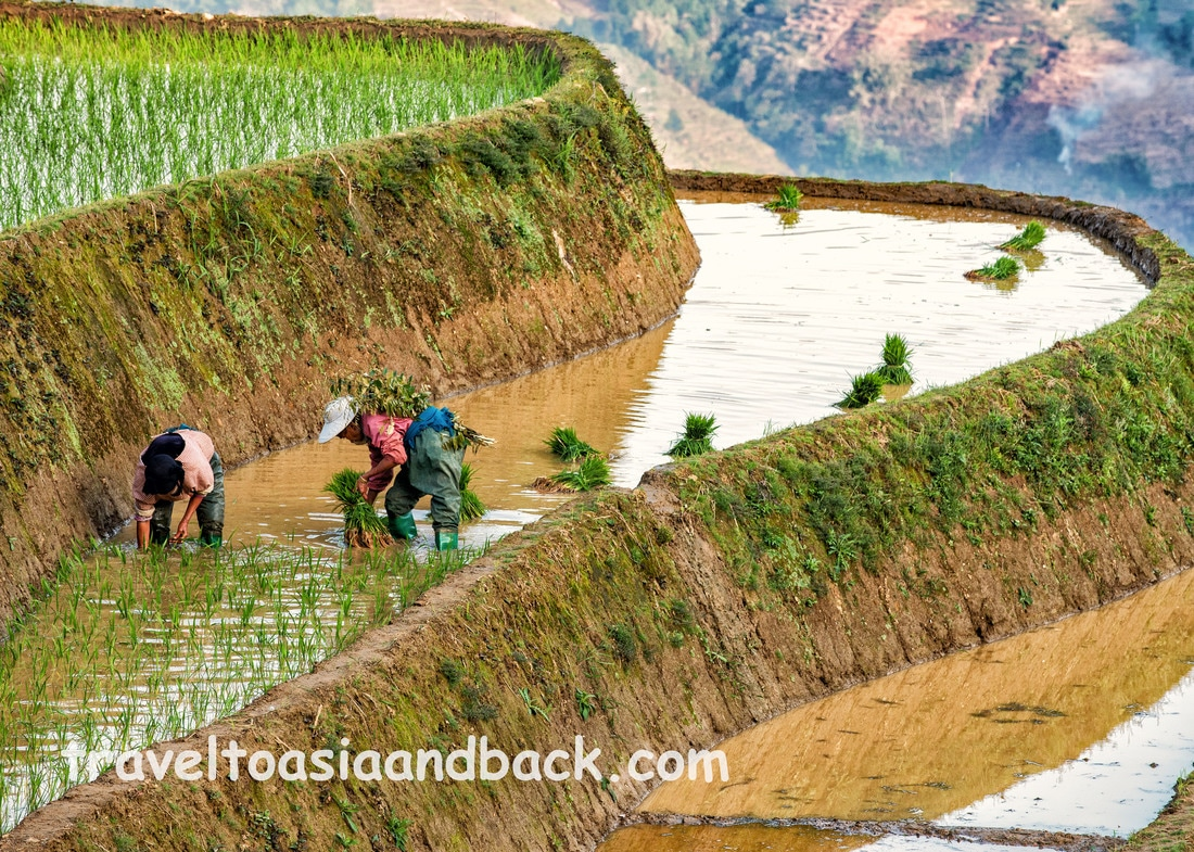 Planting rice in the Hani rice terraces of Yuanyang County, Yunnan Province, China